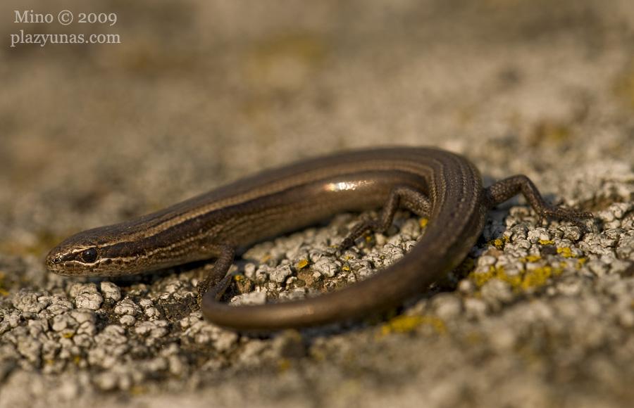 ablepharus-kitaibelii-8