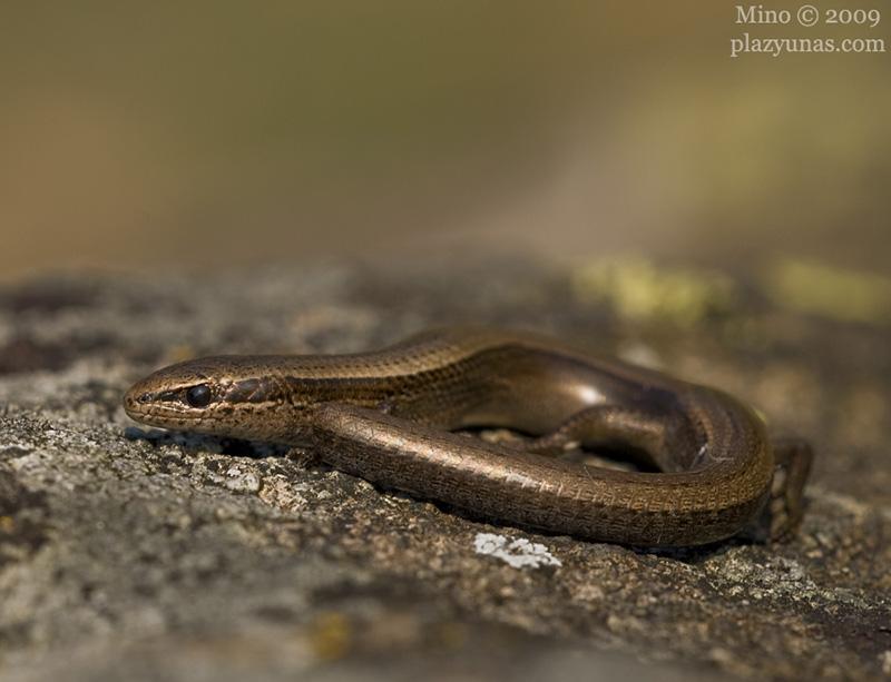 ablepharus-kitaibelii-9