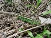 jašterica krátkohlavá ( Lacerta agilis )